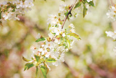 Spring branch of a blossoming apple tree Royalty Free Stock Photos