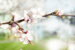 Spring branch of a blossoming apricot. First spring flowers of apricot sunny day Stock Photos