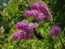 Spring branch of blossoming lilac close view on green leaves background royalty free stock photo