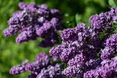 Spring branch of blossoming lilac stock image