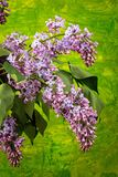Spring branch of blossoming lilac. On a paintd background Stock Images