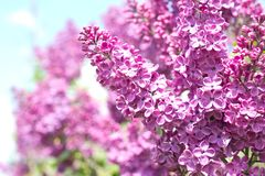 Spring branch of blossoming lilacs. Against blue sky background, selective focus stock image