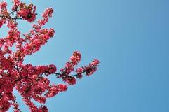 Plum Flowers and Blue Sky Stock Photos