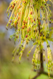Spring branch with catkins Royalty Free Stock Photography
