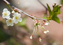 Spring branch of cherry tree Stock Photo