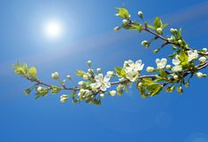 Spring branch of cherry tree Stock Photography