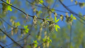 Spring branch with the first green 3. The first spring gentle leaves, buds and branches macro background stock video