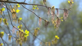 Spring branch with the first green. The first spring gentle leaves, buds and branches macro background stock footage