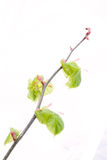 Spring branch with fresh green leaves Stock Images