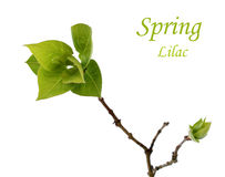 Spring branch with green leafs of lilac on white Royalty Free Stock Photography