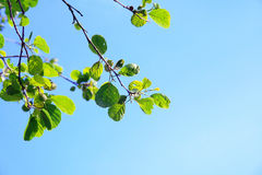 Spring. Branch with spring green leaves Royalty Free Stock Photography