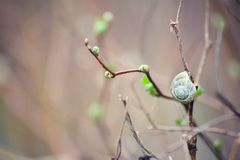 Spring branch with green leaves and snail on blurry background. Spring bare branch with young green sprouts and snail on blurry background Royalty Free Stock Images