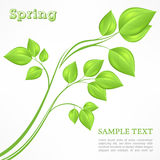 Spring branch with green leaves on white Stock Images