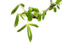 Spring branch of horse-chestnut tree Royalty Free Stock Images