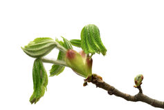 Spring branch of horse chestnut tree with young green leaves Royalty Free Stock Images