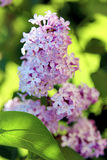 Spring branch of lilac / Spring flowers Royalty Free Stock Photography