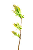Spring branch of lilac with young leaves isolated on white stock images