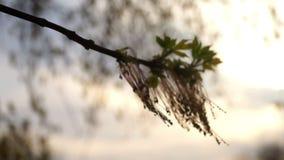 Spring branch macro stock video
