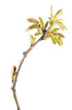 Spring branch of oak with young reddish leaves and catkins isolated on white background royalty free stock photos