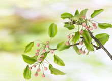 Spring branch with  pink buds Royalty Free Stock Image