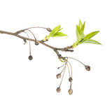 Spring branch of Siberian crab apple Malus baccata with dry fruits and fresh green leaves isolated on white background Royalty Free Stock Photos