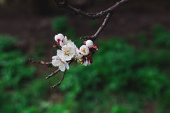Spring branch of a tree with blossoming white small flowers Stock Images