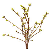 Spring branch of Tree, bud on a tree branch Royalty Free Stock Image