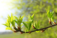 Spring branch tree Royalty Free Stock Image