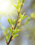 Spring branch tree close up. Royalty Free Stock Photos