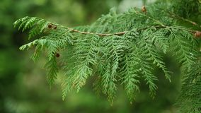 Spring branch of tree Sawara cypress with cones, swinging in mild wind, 4K. Spring branch of tree Sawara cypress, latin name Chamaecyparis pisifera, with cones stock video footage