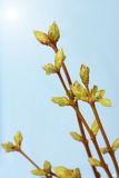 Spring branch of Tree. Tree stick against blue sky Stock Photography