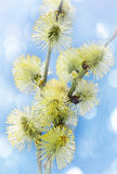Spring branch of willow with catkins Stock Image