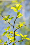 Spring branch with young leaves Royalty Free Stock Photography