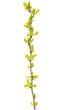Spring branch with young leaves Royalty Free Stock Photos