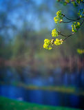Spring branches. Stock Photography