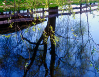 Spring branches. Spring branches of willow against a pond reflecting trees Stock Images