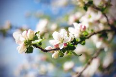 In spring the branches of the Apple blossoming delicate flowers stock images
