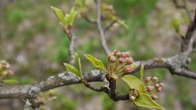 Spring branches of an apple tree with buds of flowers. Full hd 1080p. Shooting static camera. stock video footage