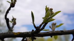 Spring branches of an apple tree with buds of flowers. Full hd 1080p. Shooting static camera. stock footage