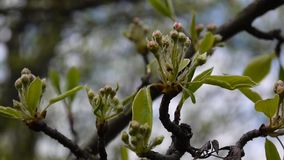 Spring branches of an apple tree with buds of flowers. Full hd 1080p. Shooting static camera. Spring branches of an apple tree with buds of flowers. Shooting stock video footage