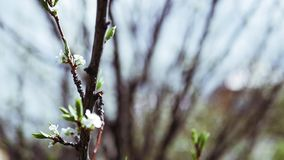 Spring branches of an apple-tree in the form of beautiful white flowers. Slow motion full hd 1080p stock footage
