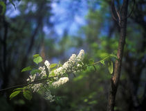 Spring. Branches of bird cherry tree with flowers Stock Image