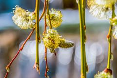 Spring branches of blossoming willows against the blue sky royalty free stock photography