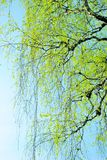 Spring branches covered with first leaves Royalty Free Stock Photo