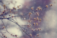 Spring branches without leaves, swollen buds Royalty Free Stock Photography