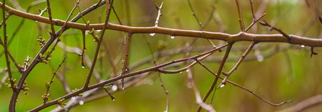 Spring branches after rain Royalty Free Stock Photos