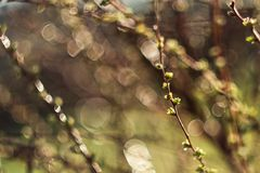Spring branches on a tree with  swollen buds and small green leaves, selective focus, bokeh, soviet lens Helios 44-2. Spring branches on a tree with swollen buds royalty free stock image