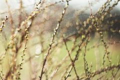 Spring branches on a tree with  swollen buds and small green leaves, selective focus, bokeh, soviet lens Helios 44-2. Spring branches on a tree with swollen buds stock photo
