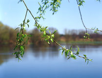 Spring branches of willow. Royalty Free Stock Photo