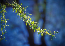 Spring branches of willow. Royalty Free Stock Image